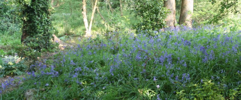 bluebell-glade